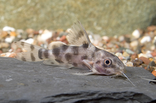 picture of Synodontis Longirostris Catfish Sml                                                                  Synodontis longirostris