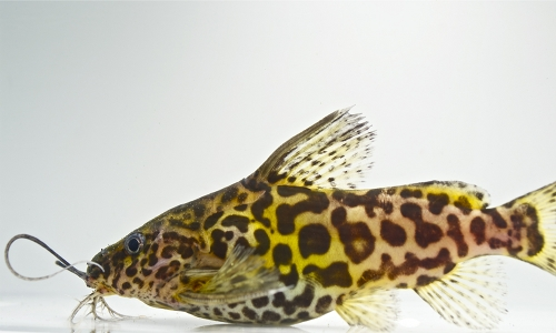 picture of Synodontis Schoutedeni Catfish Lrg                                                                   Synodontis schoutedeni