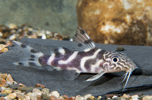 picture of Synodontis Ornatipinnis Catfish Lrg                                                                  Synodontis ornatipinnis