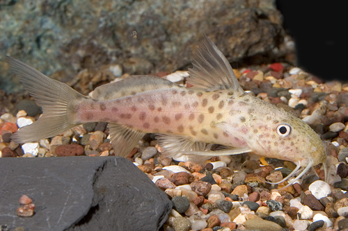 picture of Synodontis Acanthomias Catfish Lrg                                                                   Synodontis acanthomias