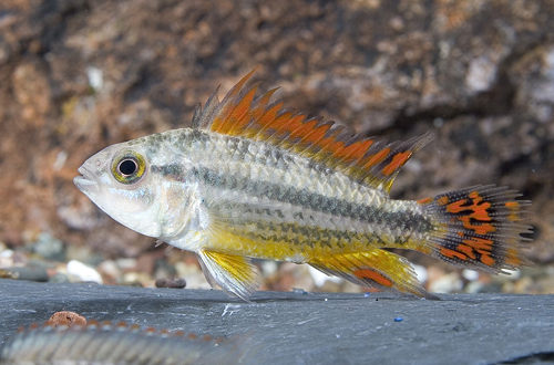 picture of Gold Apisto. Cacatouides Cichlid Female Reg                                                          Apistogramma cacatuoides 'Red-Gold'