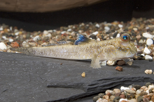 picture of African Mudskipper Lrg                                                                               Periophthalmus barbarus