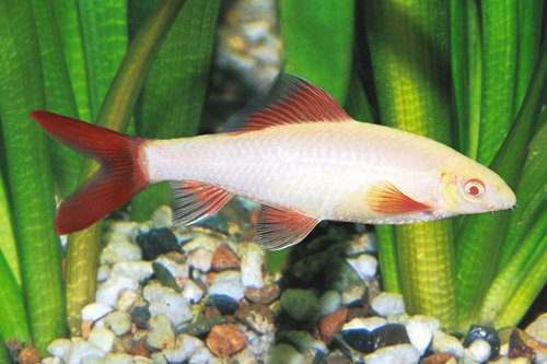 picture of Albino Rainbow Shark Reg                                                                             Epalzeorhynchus frenatus 'Albino'