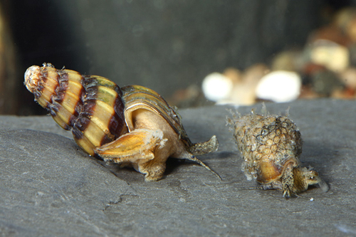 picture of Assassin Snail Reg                                                                                   Clea helena
