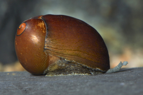 picture of Olive Nerite Snail M/S                                                                               Neritina reclivata