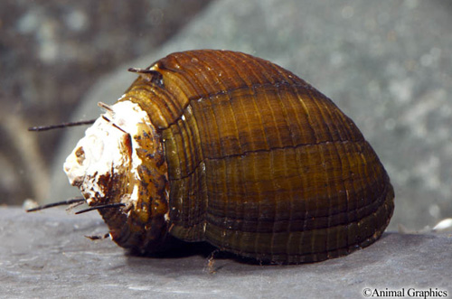 picture of Hairy Nerite Snail Reg                                                                               Neritina natalensis