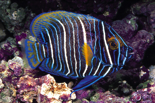 picture of Blue Face Angel Juvenile Med                                                                         Pomacanthus xanthometopon