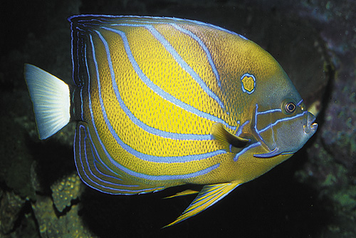 picture of Blue Ring Angel Adult Sml                                                                            Pomacanthus annularis