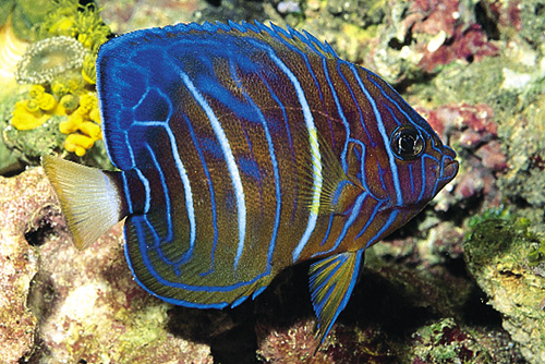 picture of Blue Ring Angel Juvenile Med                                                                         Pomacanthus annularis