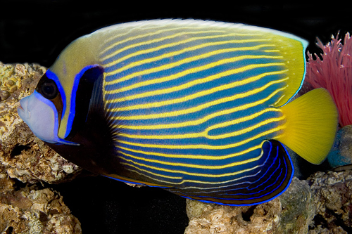 picture of Emperor Angel Adult Shw                                                                              Pomacanthus imperator