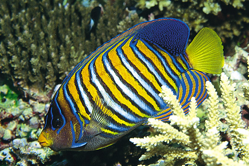 picture of Regal Angel Indonesia Med                                                                            Pygoplites diacanthus