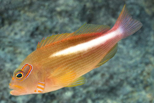 picture of Arc Eye Hawkfish Hawaii Med                                                                          Paracirrhites arcatus