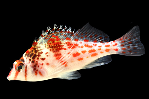picture of Red Spotted Hawkfish Med                                                                             Cirrhitichthys aprinus