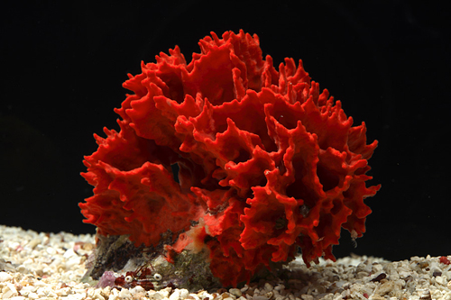 picture of Red Ridge Sponge Lrg                                                                                 Porifera sp.